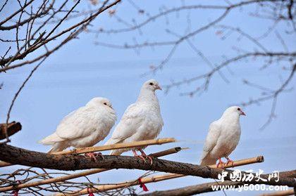 古代的飞鸽传书是真的吗飞鸽传书靠谱吗