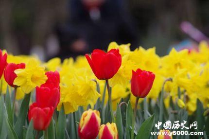 郁金香的花语和寓意郁金香适合送给什么人?