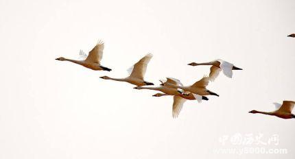 鸿鹄是什么鸟鸿鹄的寓意鸿鹄之志是什么意思?