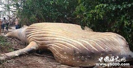 巴西惊现头鲸尸体座头鲸种群生存现状怎么样?